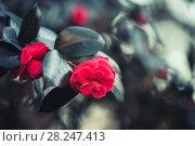 Купить «Red rose flowers, macro photo», фото № 28247413, снято 22 марта 2018 г. (c) EugeneSergeev / Фотобанк Лори