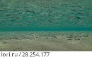 Купить «Massive school of young Hardyhead Silverside (Atherinomorus lacunosus) floats on sandy shallows, Red sea, Marsa Alam, Egypt», видеоролик № 28254177, снято 25 октября 2017 г. (c) Некрасов Андрей / Фотобанк Лори