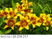 Купить «Лилии в саду», фото № 28254317, снято 30 июня 2012 г. (c) Natalya Sidorova / Фотобанк Лори
