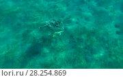 Купить «Young male Green Sea Turtle (Chelonia mydas) with Remora fish (Echeneis naucrates) floats to surface of water, breathes and dives to the bottom, Red sea, Marsa Alam, Abu Dabab, Egypt», видеоролик № 28254869, снято 25 октября 2017 г. (c) Некрасов Андрей / Фотобанк Лори