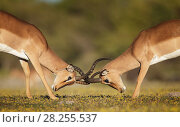 Купить «Black-faced impala (Aepyceros melampus petersi) two males fighting. Etosha National Park, Namibia, March.», фото № 28255537, снято 19 июля 2018 г. (c) Nature Picture Library / Фотобанк Лори