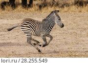 Zebra  (Equus burchelli) foal running, South Luangwa NP. Zambia June. Стоковое фото, фотограф Tony Heald / Nature Picture Library / Фотобанк Лори