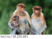 Купить «Proboscis monkey (Nasalis larvatus) mother and infant, Sabah, Malaysia.», фото № 28255681, снято 20 июня 2018 г. (c) Nature Picture Library / Фотобанк Лори