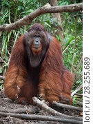 Купить «Bornean orangutan (Pongo pygmaeus) dominant male in forest, Tanjung Puting National Park, Indonesia.», фото № 28255689, снято 21 сентября 2019 г. (c) Nature Picture Library / Фотобанк Лори