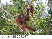 Купить «Bornean orangutan (Pongo pygmaeus) mother and infant, aged 2 years, Tanjung Puting National Park, Indonesia.», фото № 28255697, снято 21 сентября 2019 г. (c) Nature Picture Library / Фотобанк Лори