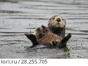 Купить «Sea otter (Enhydra lutris) mother and pup, aged 3 weeks, Monterey, California, USA.», фото № 28255705, снято 21 сентября 2019 г. (c) Nature Picture Library / Фотобанк Лори