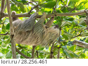 Купить «Hoffmann's Two-toed sloth (Choloepus hoffmanni) mother and baby, aged 2 months, in tree, Costa Rica. Rescued and released by Aviarios Sloth Sanctuary.», фото № 28256461, снято 28 мая 2020 г. (c) Nature Picture Library / Фотобанк Лори