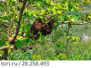Купить «Honey Bee (Apis mellifera) swarm in mulberry tree. Italy, April.», фото № 28258493, снято 22 июля 2018 г. (c) Nature Picture Library / Фотобанк Лори