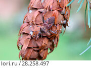 Купить «Western conifer seed bug (Leptoglossus occidentalis) on Douglas Fir cone. Species recently introduced to Europe from North America and spread to Britain. Surrey, England», фото № 28258497, снято 24 мая 2018 г. (c) Nature Picture Library / Фотобанк Лори