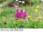 Купить «Verticillate lousewort (Pedicularis verticillata). Italy, July.», фото № 28258529, снято 23 октября 2019 г. (c) Nature Picture Library / Фотобанк Лори