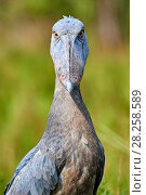 Купить «Whale headed / Shoebill (Balaeniceps rex) portrait. Swamps of Mabamba, Lake Victoria, Uganda.», фото № 28258589, снято 27 июня 2019 г. (c) Nature Picture Library / Фотобанк Лори