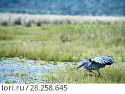 Купить «Shoebill stork (Balaeniceps rex) trying to catch a fish in the swamps of Mabamba, Lake Victoria, Uganda», фото № 28258645, снято 18 июня 2019 г. (c) Nature Picture Library / Фотобанк Лори
