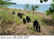 Купить «Eastern chimpanzees (Pan troglodytes schweinfurtheii) walking in line close to the shore of Lake Tanganyika. Gombe National Park, Tanzania.», фото № 28259337, снято 28 января 2020 г. (c) Nature Picture Library / Фотобанк Лори