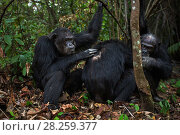 Купить «Eastern chimpanzee (Pan troglodytes schweinfurtheii) Alpha male 'Ferdinand' aged 20 years and male ' Apollo' aged 33 years grooming male 'Freud' aged 41...», фото № 28259377, снято 20 января 2020 г. (c) Nature Picture Library / Фотобанк Лори