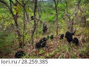 Купить «Eastern chimpanzee (Pan troglodytes schweinfurtheii) group resting and playing. Gombe National Park, Tanzania. October 2012.», фото № 28259385, снято 20 января 2020 г. (c) Nature Picture Library / Фотобанк Лори