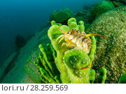 Купить «Freshwater isopod (Acanthogammarus lappaceus) on Baikal sponge (Lubomirskia baicalensis), Lake Baikal, Siberia, Russia.», фото № 28259569, снято 16 августа 2018 г. (c) Nature Picture Library / Фотобанк Лори