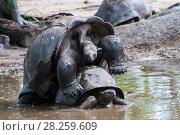 Aldabra Giant Tortoise (Dipsochelys dussumieri), mating couple, La Digue Island, Republic of Seychelles. Captive. Стоковое фото, фотограф Martin Gabriel / Nature Picture Library / Фотобанк Лори