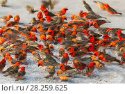 Купить «Madagascar fody (Foudia madagascariensis), flock of males and females feeding on rice, Praslin Island, Republic of Seychelles», фото № 28259625, снято 25 апреля 2018 г. (c) Nature Picture Library / Фотобанк Лори