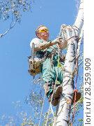 Лесоруб альпинист пилит деревья на высоте (2015 год). Редакционное фото, фотограф Светлана Голинкевич / Фотобанк Лори