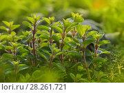 Green fresh sweet marjoram spicy herb sprouts. Стоковое фото, фотограф Anton Eine / Фотобанк Лори