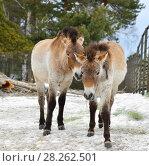 Купить «Mongolian wild ass (Equus hemionus hemionus), also known as Mongolian khulan», фото № 28262501, снято 24 марта 2018 г. (c) Валерия Попова / Фотобанк Лори