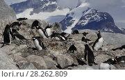 Купить «Gentoo Penguins on the nest», видеоролик № 28262809, снято 20 февраля 2018 г. (c) Vladimir / Фотобанк Лори