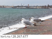 Купить «Две чайки вида Морской голубок (Chroicocephalus genei) сидят на набережной в Евпатории зимой и смотрят на море», фото № 28267677, снято 28 февраля 2018 г. (c) Николай Мухорин / Фотобанк Лори