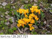Купить «Желтые крокусы», фото № 28267721, снято 26 апреля 2015 г. (c) Ольга Сейфутдинова / Фотобанк Лори