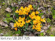 Купить «Желтые крокусы», фото № 28267725, снято 26 апреля 2015 г. (c) Ольга Сейфутдинова / Фотобанк Лори