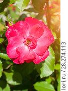 Купить «Rose flower, closeup. Summer flower of red rose blooming in the summer garden», фото № 28274113, снято 12 августа 2016 г. (c) Зезелина Марина / Фотобанк Лори