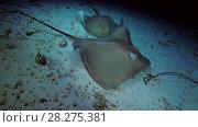 Купить «Two Pink whiprays - Himantura fai swim over sandy bottom (night sooting)», видеоролик № 28275381, снято 6 апреля 2018 г. (c) Некрасов Андрей / Фотобанк Лори