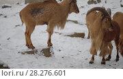 Купить «Barbary sheep (Ammotragus lervia)», видеоролик № 28276601, снято 28 декабря 2017 г. (c) BestPhotoStudio / Фотобанк Лори