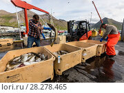 Купить «Sorting freshly caught fish in Siglufjorour, Siglufjordur, off the north coast of Iceland, Polar Regions», фото № 28278465, снято 17 июля 2017 г. (c) age Fotostock / Фотобанк Лори