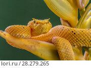Купить «Eyelash viper (Bothriechis schlegelii) waiting on Heliconia flower (Heliconia lankasteri) to ambush hummingbird prey, 'Golden colour morph' La Selva, Costa Rica.», фото № 28279265, снято 24 апреля 2018 г. (c) Nature Picture Library / Фотобанк Лори