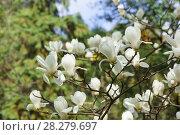 Купить «Ветка цветущей магнолии (лат. Magnolia denudata) с красивыми белыми цветками в южном весеннем парке», фото № 28279697, снято 9 марта 2018 г. (c) Наталья Гармашева / Фотобанк Лори