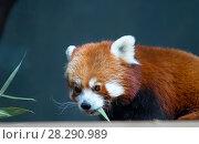 Купить «Малая панда (красная панда)», фото № 28290989, снято 7 ноября 2014 г. (c) Галина Савина / Фотобанк Лори