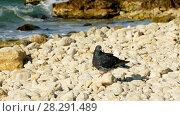 Купить «Pigeon on the sea beach», видеоролик № 28291489, снято 17 октября 2017 г. (c) Tatiana Kravchenko / Фотобанк Лори
