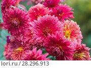 Купить «Садовые красные хризантемы осенью», фото № 28296913, снято 1 октября 2017 г. (c) Ольга Сейфутдинова / Фотобанк Лори