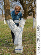 Купить «Побелка ствола фруктового дерева. Весенние работы в саду», фото № 28303685, снято 14 апреля 2018 г. (c) Ирина Борсученко / Фотобанк Лори