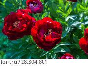 Купить «Куст красного пиона Бакай Белл (Buckeye Belle)», фото № 28304801, снято 18 июня 2017 г. (c) Ольга Сейфутдинова / Фотобанк Лори