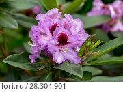 Купить «Catawba Rhododendron Cultivar (Rhododendron catawbiense)», фото № 28304901, снято 12 июня 2017 г. (c) Ольга Сейфутдинова / Фотобанк Лори