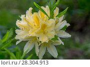 Купить «The Japanese yellow deciduous rhododendron (Rhododendron molle japonicum)», фото № 28304913, снято 12 июня 2017 г. (c) Ольга Сейфутдинова / Фотобанк Лори