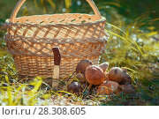 Купить «Mushrooms and hunting folding knife sticking in the ground in front of empty basket outdoors», фото № 28308605, снято 16 сентября 2017 г. (c) Константин Шишкин / Фотобанк Лори