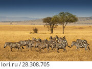 Herd of Plains Zebras in the Serengeti National Park, Tanzania. Plains zebra (Equus quagga, formerly Equus burchellii), also known as the common zebra or Burchell's zebra. Стоковое фото, агентство BE&W Photo / Фотобанк Лори