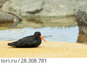 Купить «The variable oystercatcher (Haematopus unicolor) is a species of wader in the family Haematopodidae. It is endemic to New Zealand. The Maori name is torea-pango. They are also known as red bills.», фото № 28308781, снято 17 октября 2018 г. (c) BE&W Photo / Фотобанк Лори