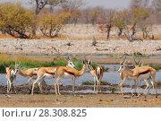 Springbok antelopes (Antidorcas marsupialis) in natural habitat, Etosha National Park, Namibia. Стоковое фото, агентство BE&W Photo / Фотобанк Лори