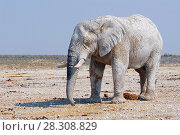Купить «African elephant from dirty white clay in Etosha National Park, Namibia», фото № 28308829, снято 26 марта 2019 г. (c) BE&W Photo / Фотобанк Лори