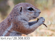 African ground squirrel eating grass, Botswana South Africa. Стоковое фото, агентство BE&W Photo / Фотобанк Лори