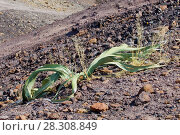 Купить «Welwitschia (Welwitschia mirabilis) plant growing in the hot arid Namib Desert of Angola and Namibia», фото № 28308849, снято 24 октября 2019 г. (c) BE&W Photo / Фотобанк Лори