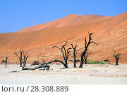 Купить «Dead Camelthorn (Acacia erioloba) Trees in Dead Vlei, Namib Naukluft National Park, Namibia», фото № 28308889, снято 18 января 2019 г. (c) BE&W Photo / Фотобанк Лори